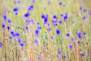 Campo di fiori nel Parco Nazionale di Pha Taem. Foto di Khunkay.