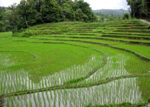 Campi di riso nelle vicinanze di Chiang Mai. Foto di echiner1.