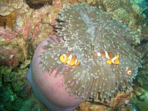 Clown Fish a Ko Lipe. Foto di Flip666.