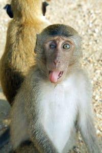 Primo piano di un macaco, Ao Nang. Foto di kallerna.