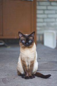 Un gatto siamese.